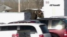 Elephants cause damage after escaping from the cir