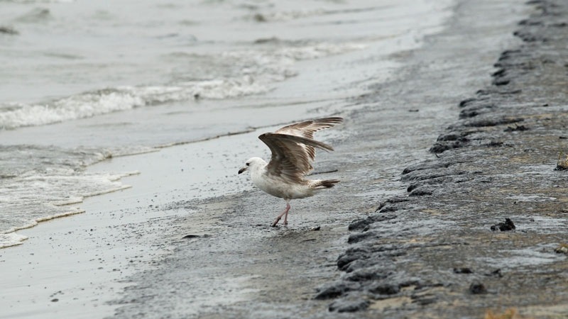 A seagull lands in heavy crude oil washing up on East Beach in Galveston, Texas on Sunday, March 23, 2014. (The Daily News, Jennifer Reynolds)