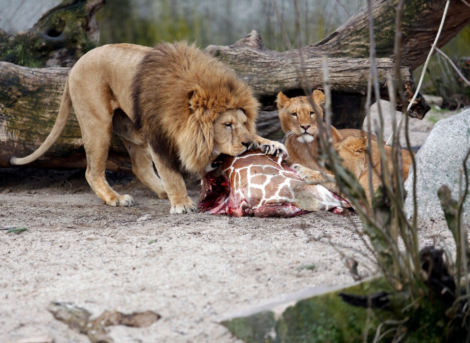 Marius, a male giraffe, is eaten by lions after he was put down in a Copenhagen Zoo, Feb. 9, 2014. (AP / Rasmus Flindt Pedersen)