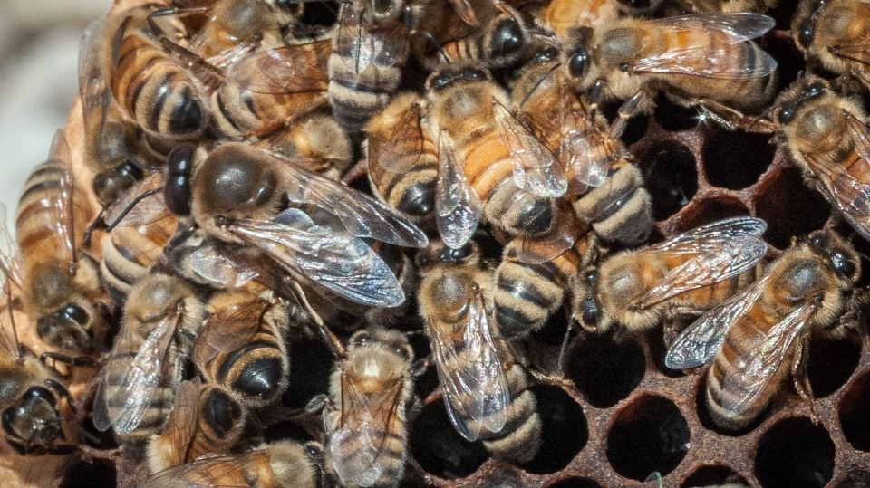 (FILE)  A queen Italian honeybee, the large bee just left of centre, is surrounded on an apiary nest in Washington, D.C. on May 22, 2013. (AP / USDA, Lance Cheung)
