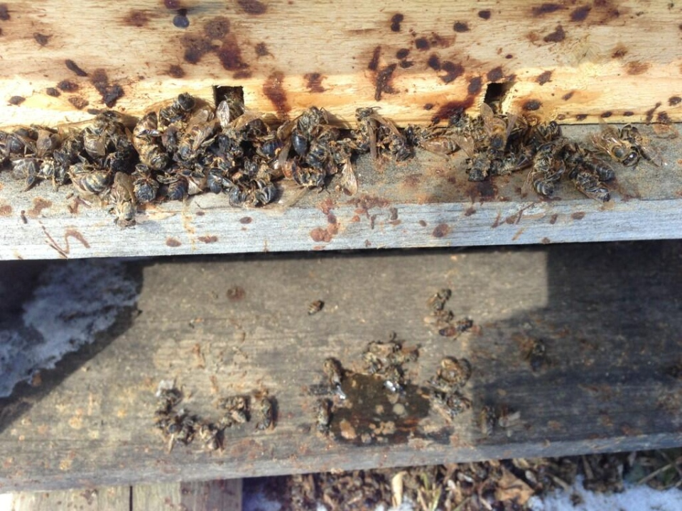 Dead bees are seen in a hive near Watford, Ont. on Wednesday, March 26, 2014. (Bryan Bicknell / CTV London)