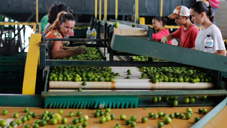 Workers sort limes at a citrus packing plant in La Ruana, in the state of Michoacan, Mexico, Nov. 6 , 2013.  (AP / Dario Lopez-Mills)