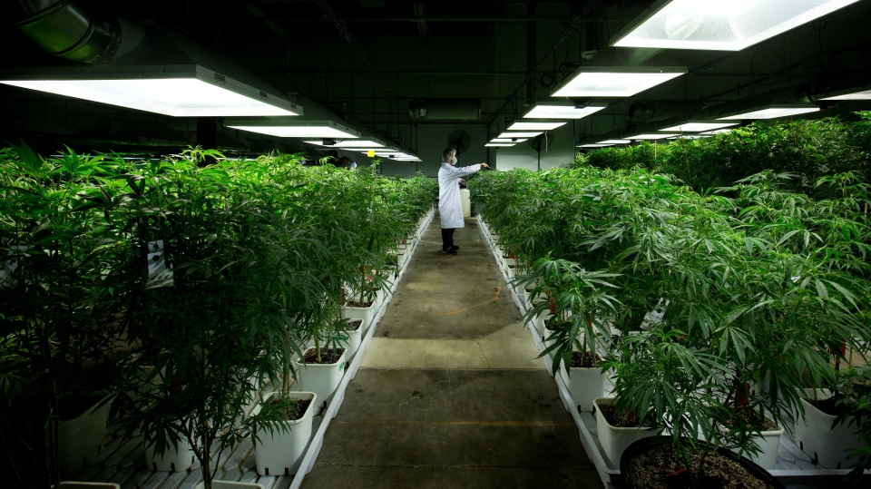 Marijuana plants are shown inside a facility in Richmond, B.C., on Friday March 21, 2014. (Darryl Dyck/The Canadian Press)