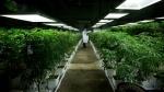 Marijuana plants are shown inside a facility in Richmond, B.C., on Friday March 21, 2014. (Darryl Dyck / THE CANADIAN PRESS)