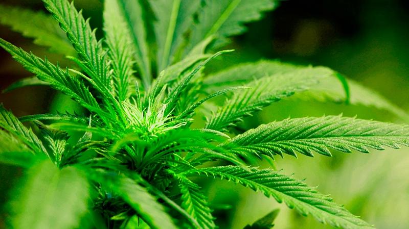 A marijuana plant flourishes under grow lights at a warehouse in Denver on Tuesday, Oct. 26, 2010. (AP Photo/Ed Andrieski)