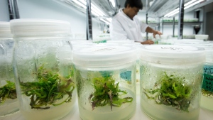 Marijuana plant strains are held in jars as MediJean lab manager Abdul Ahad works in the research and tissue culture development lab at the medical marijuana facility in Richmond, B.C., on Friday March 21, 2014. (Darryl Dyck/THE CANADIAN PRESS)