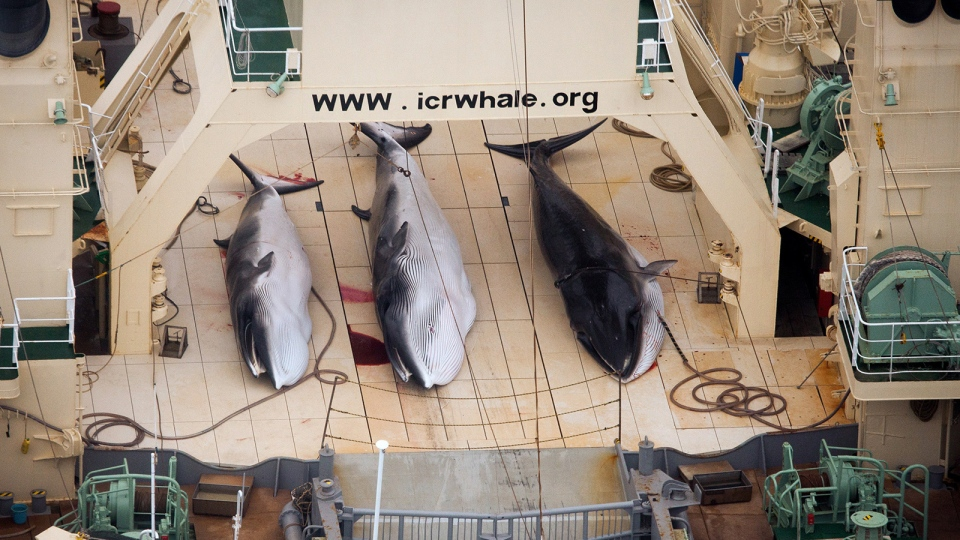In this file photo supplied by Sea Shepherd Australia on Monday, Jan. 6, 2014, three dead minke whales lie on the deck of the Japanese whaling vessel Nisshin Maru, in the Southern Ocean,Sunday, Jan. 5, 2014. (AP / Tim Watters, Sea Shepherd Australia)
