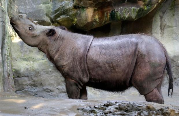 Female Sumatran rhino at Cincinnati Zoo
