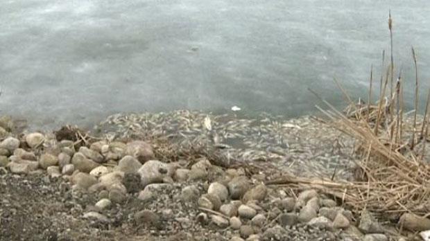 Dead fish found floating in Puslinch Lake
