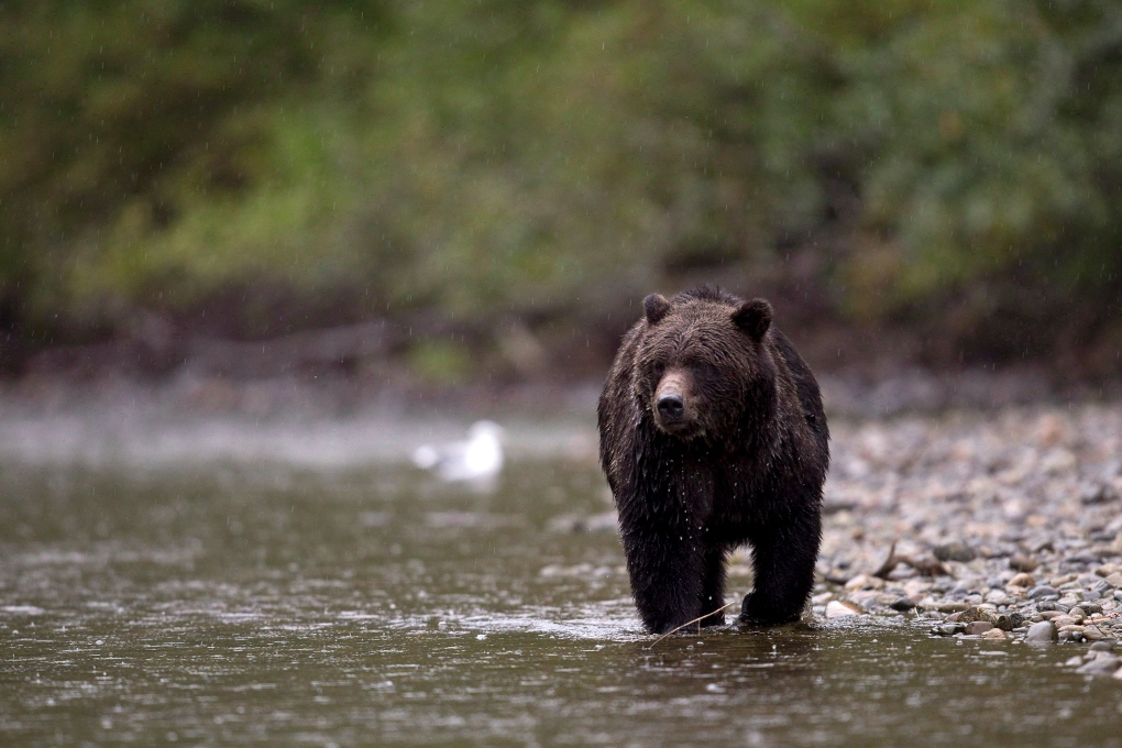 Grizzly bear fishes in British Columbia
