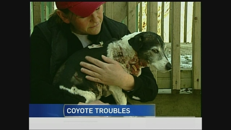 J.Ru the dog is recovering after being attacked by coyotes in northeast London, Ont., Wednesday, April 2, 2014.