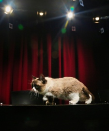 Grumpy Cat, an Internet celebrity cat