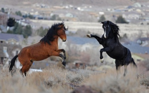 Two young wild horses play while grazing in Reno, Nev., Jan. 13, 2010. (AP / Andy Barron)
