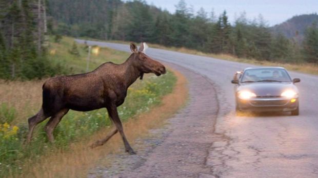Image result for moose car accident canada