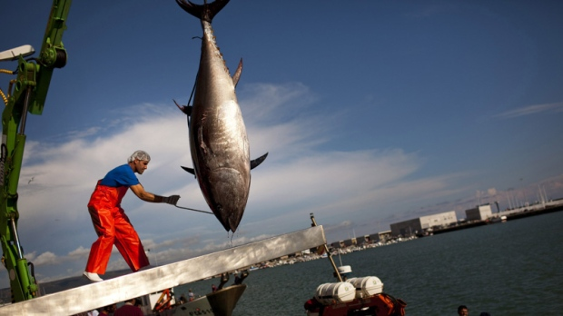 An Atlantic bluefin tuna is lifted by a crane during the opening of the season for tuna fishing in the port of Barbate, Cadiz province, southern Spain, Monday, April 25, 2011. (AP Photo/Emilio Morenatti)