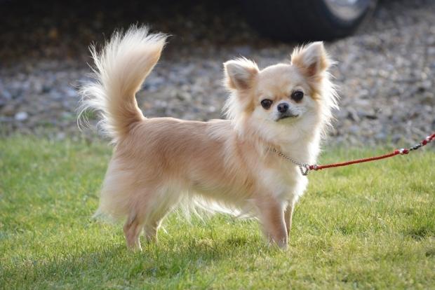 Chihuahua Xena