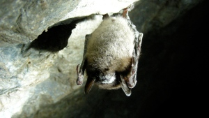 A little brown bat with white-nose syndrome is shown in Greeley Mine, Vermont, March 26, 2009. (THE CANADIAN PRESS / HO-U.S. Fish and Wildlife Service-Marvin Moriarty)
