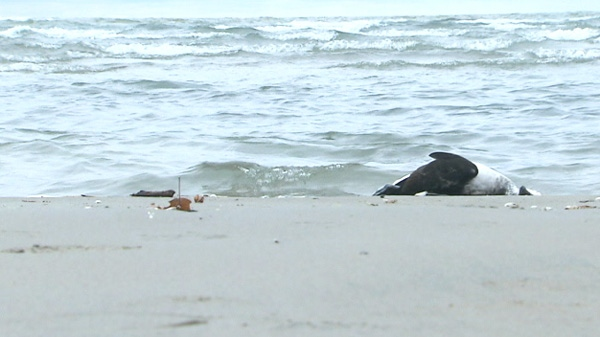 A dead bird is shown after it washed up on the shores of Wasaga Beach, Ont. in this undated photo.