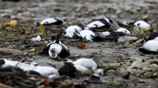Dead birds line a portion of Allenwood Beach just outside of Wasaga Beach