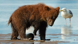 Canada AM: Bears takes viewers on nature adventure