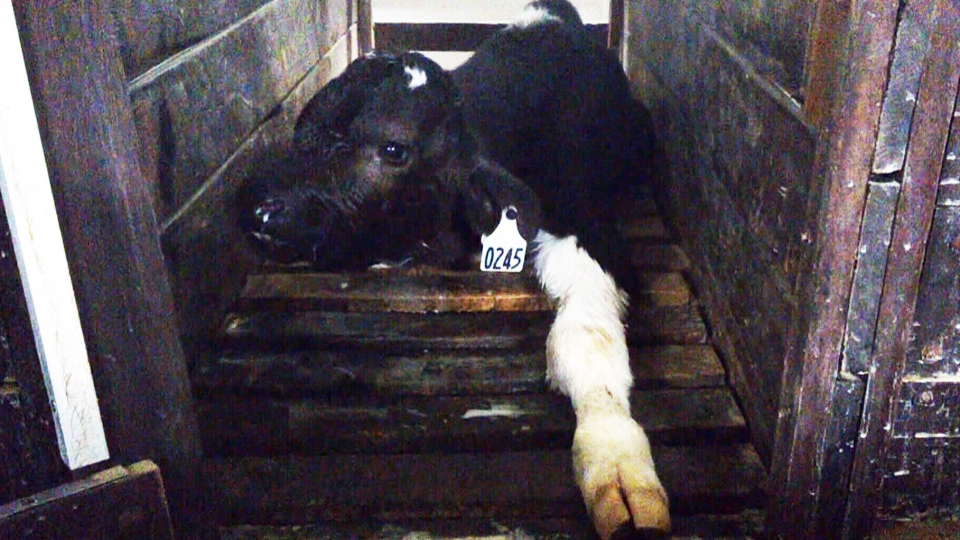 At the Pont Rouge barn, about 800 calves are subjected daily to harsh treatment and inhumane confinement for the entire 18 to 20 weeks of their short lives. They are housed in crates so narrow they can't turn around or lie down comfortably. Many are tethered by chains around their necks.