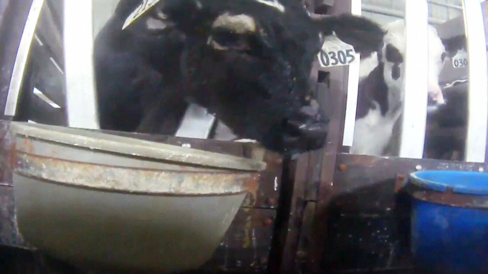 These are some of the disturbing images revealed in undercover video footage shot by Mercy for Animals Canada at a milk-fed veal barn complex in Pont Rouge, just outside Quebec City.