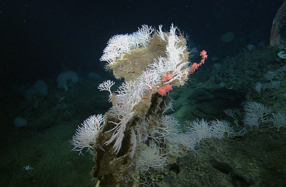 A large group of Asbestopluma monticola sponges grows on top of a dead sponge at Davidson Seamount, offshore of the Central California coast in this undated handout photo. They look like fuzzy fingers, waving gently from the depths of the ocean floor but make no mistake, they're stone cold killers. (Handout)