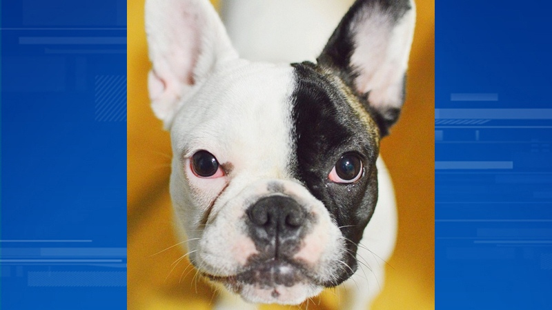 Chloe, a 10-month-old French Bulldog, was allegedly dog-napped from The Fall tattoo shop on Seymour Street in downtown Vancouver Thursday, April 17, 2014. (Instragram/@shaughnessy)
