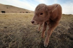 A newborn calf is seen in this March 2014 file photo. (AP/Toby Brusseau)