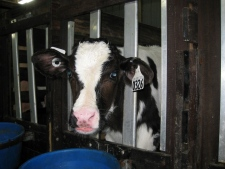 Calf in veal pen at Quebec farm - W5