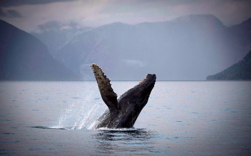 A humpback whale breaks through the water of Hartley Bay along the Great Bear Rainforest, B.C., on Tuesday, Sept, 17, 2013. (Jonathan Hayward / THE CANADIAN PRESS)