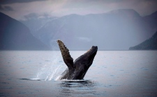 Humpback whale off coast of B.C.