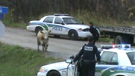 A YouTube video shows Gatineau police opening fire on an escaped cow Thursday, Oct. 27, 2011.
