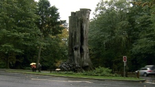 The giant western red cedar's hollow core was the most popular tourist attraction in Vancouver's Stanley Park before being knocked over by a windstorm in 2006.
