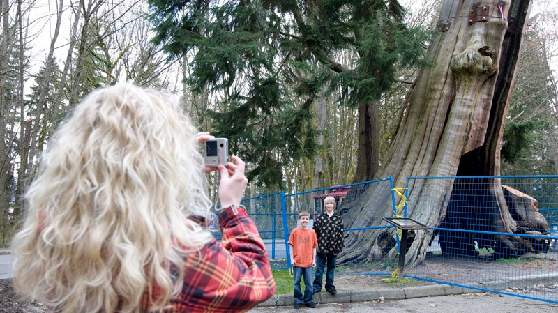 Hollow tree in Stanley Park saved