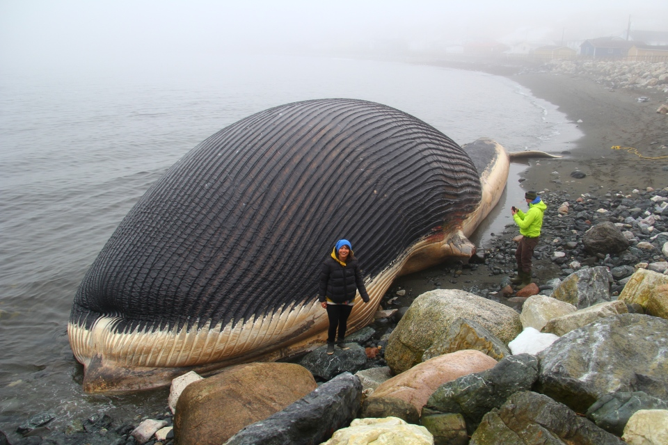 Two blue whale carcases came ashore on the west end of the island -- one was found on a beach near a government wharf in Trout River, while another was found near a fish plant in Rocky Harbour. (Jon Patten)
