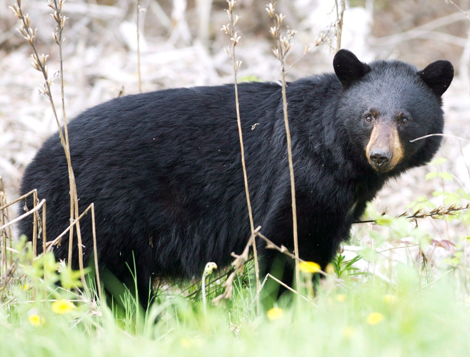 A black bear is pictured in a May 27, 2012 photo. (Nathan Denette / THE CANADIAN PRESS)