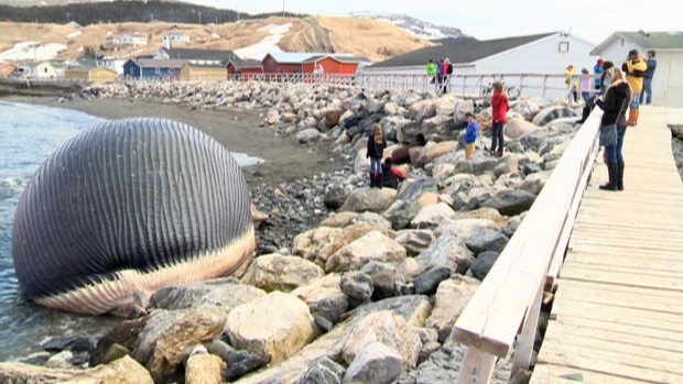 Dead blue whale washed up on N.L. shore rotted and