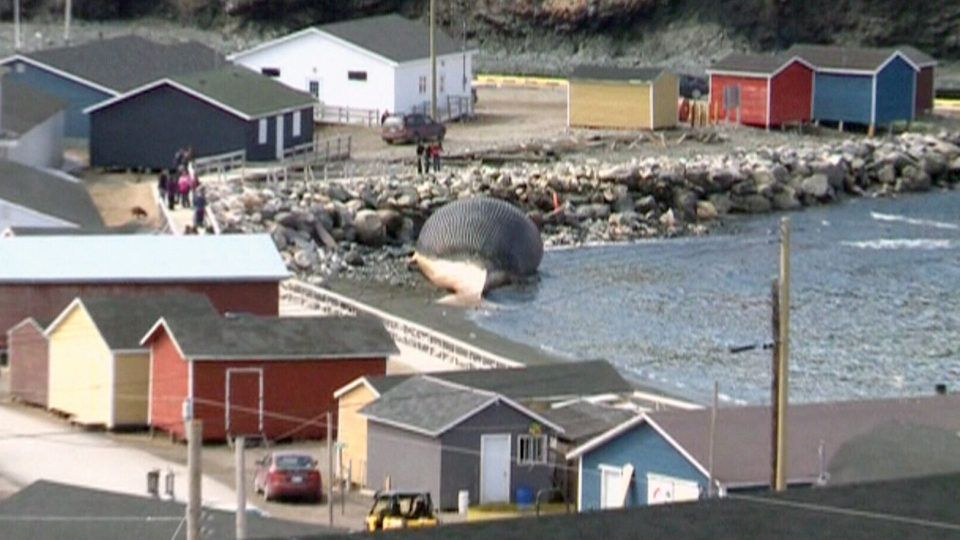 An endangered blue whales found dead off of Newfoundland's coast earlier this month has washed ashore in Trout River.