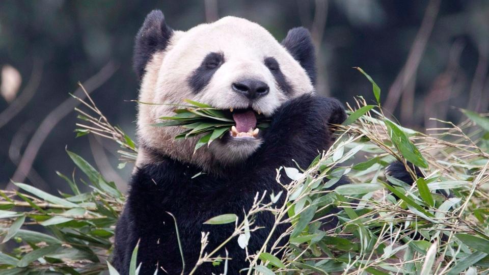 Toronto Zoo Hopes Panda Borrowed From China Will Get Pregnant Ctv News