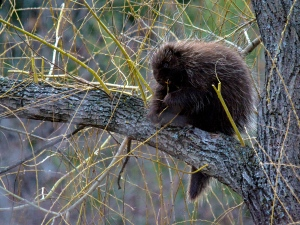 This porcupine was spotted in my Willow tree yesterday morning...and he is there again today... in the rain. (Cheryl Baxter/CTV Viewer)