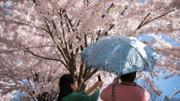 Cherry blossoms blooming in High Park delayed