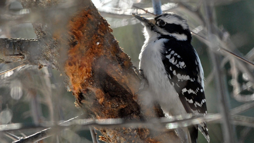 Link between urban birds and boreal forest