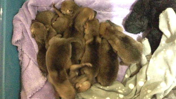 The Wildlife Haven Rehabilitation Centre put out the call for help after the two-week old pups were dropped off at their facility in Île-des-Chênes.