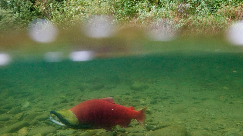 A spawning sockeye salmon is seen making its way up the Adams River in Roderick Haig-Brown Provincial Park near Chase, B.C. on Oct. 4, 2011. THE CANADIAN PRESS/Jonathan Hayward