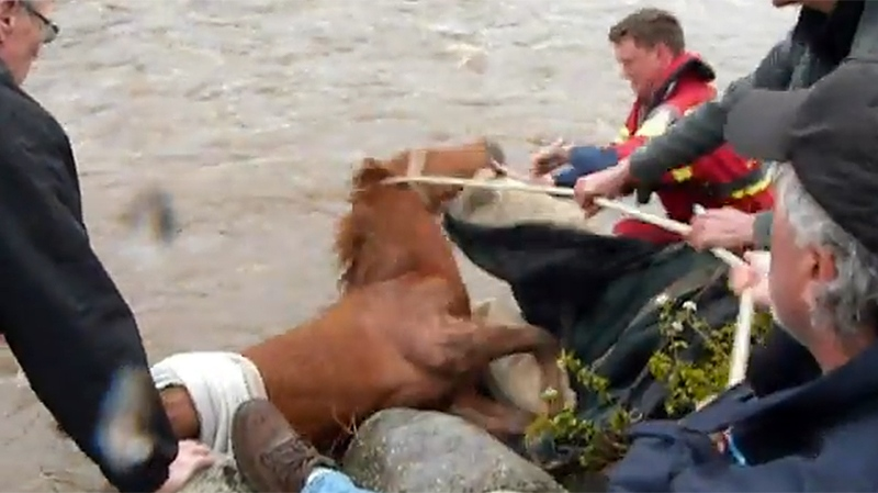 Video posted to YouTube shows volunteers and firefighters pulling a young filly from the rushing waters of Summerland's Trout Creek. May 5, 2014.