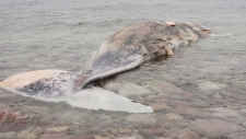 N.L. town tries to auction sperm whale carcass
