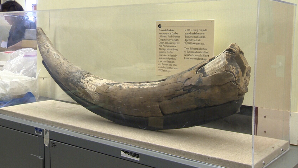 This mastodon tusk at the Nova Scotia Museum was found in a gypsum quarry in 1989.
