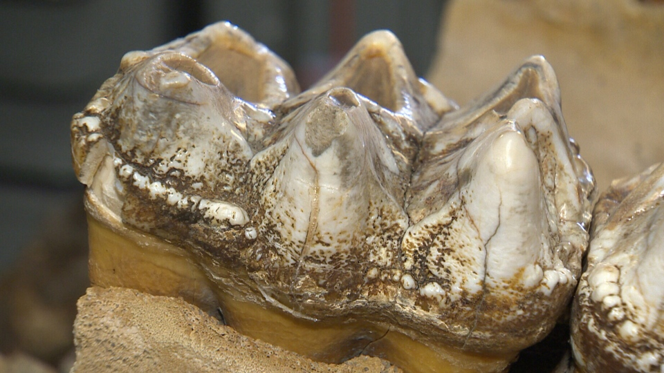 A juvenile mastodon molar found near Milford, Nova Scotia in 1991.