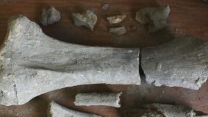 CTV News Channel: A big bone from a big mammal